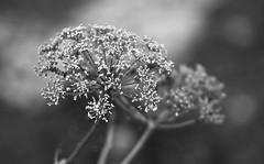 greyscale umbellifer (EllaH52) Tags: summer nature plant umbellifer greyscale blackwhite bokeh