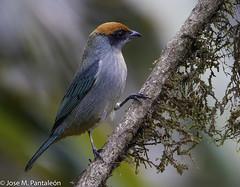 8-CASI ENDEMICA!!La Tangara Rastrojera es una especie Casi Endémica para Colombia. Es muy común y por lo general tolera áreas perturbadas. Tangara deriva de la lengua Tupí y significa bailarín. El epíteto vitriolina deriva del latín vitreolus = de cristal (Cimarrón Mayor 14,000.000. VISITAS GRACIAS) Tags: ordenpasseriformes familiathraupidae génerogénerotangara tángaradelosmatorrales tangaramatorralera tangarárastrojera macho nombrecientificotangaravitriolina male nombreinglesscrubtanager statuscasiendemica endémica casi soloestaencolombiayecuador lugardecapturafincaalejandría cali colombia ave vogel bird oiseau paxaro fugl pássaro птица fågel uccello pták vták txori lintu aderyn éan madár cimarrónmayor panta pantaleón josémiguelpantaleón objetivo500mm telefoto700mm 7dmarkii canoneos canoneos7dmarkii naturaleza libertad libertee libre free fauna dominicano pájaro montañas