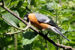 Bullfinch (CJT29( Back from magical Mull)) Tags: hampshire blashfordlakes blashford hiowt cjt29 bird birds bullfinch pyrrhulapyrrhula