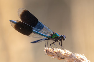 Male Banded Demoiselle on grass (Explored)