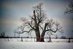 Growing and Dying (Brian 104) Tags: tree dying growing snow fence field winter