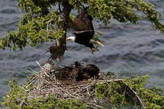 Bald Eagles (blachswan) Tags: denmanisland island britishcolumbia canada baldeagles nest
