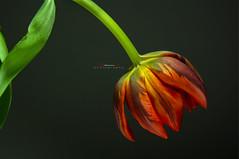 Red Tulip (aniribe) Tags: tulip flower flowers nature naturephotos natureimagies red green yellow orange indoor creative nikon closeup close macro petal botanical stilllife nopeople minimalism