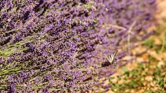 Lavandes et papillon. (Eric83400) Tags: lavande papillon valensole