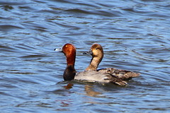 Redhead Duck (male and femal) (Daniel Taieb) Tags: redhead duck redheadduck mckenziemarsh