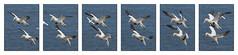 M2246495 tile-resize-6 x6 r16 b10 E-M1ii 150mm iso400 f5.6 1_2000s (Mel Stephens) Tags: 20180624 201806 2018 q2 wide widescreen olympus mzuiko mft microfourthirds m43 40150mm omd em1ii ii mirrorless uk scotland aberdeenshire troup head modified animal animals nature wildlife fauna bird birds coast coastal gannet gannets flight bif