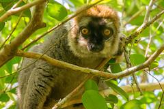 Rufus Brown Lemur in Ranomafana NP (Lie's Foto Studio 2.0) Tags: madagascar africa afrique wildlife endemic lemurs nature nationalparks worldheritagesites ranomafana animals primates rufusbrownlemurs