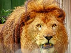 Omar - Grass Tasting 1 (Rasenche) Tags: animal carnivore cat mammal bigcat annapaulowna stichtingleeuw lion
