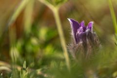 2018-06-16--Pagny la Blanche Côte0166.jpg (heijoelle) Tags: macro france anémonepulsatille fleurs meuse europe pagnylablanchecôte lorraine macrophotographie