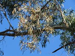 Amyema miquelii 1 (barryaceae) Tags: copeland tops sca nsw australia ausmistletoes loranthaceae