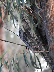 a pair of Tawnys in the PMR (jeaniephelan) Tags: bird frogmouth tawnyfrogmouth