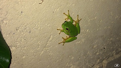 Reinette du soir (Dirty Papy) Tags: reinette grenouille vert nature