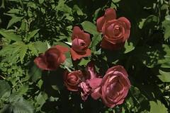 red roses for a blue lady (zawaski) Tags: alberta beauty canada canmore codajaywalker soykut zawaski©2018 naturallight rockymountains noflash calgary love ambientlight canonef2035mmf3545usm