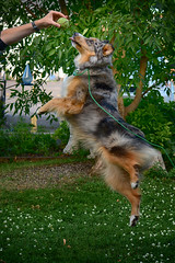 Going for Gold (flashfix) Tags: july052018 2018inphotos ottawa ontario canada nikond7100 55mm300mm flashfix flashfixphotography portrait sock dog canine animal pet austrailanshepherd triaustrailanshepherd bluemerle tricolour heterochromia jump ball leap