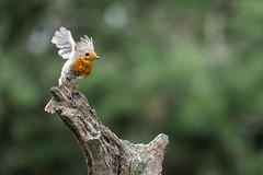 Robin - HBN-hut 3 - Lemelerberg - The Netherlands (wietsej) Tags: robin hbnhut 3 lemelerberg the netherlands sony rx10iv rx10m4 bird nature rx10 iv