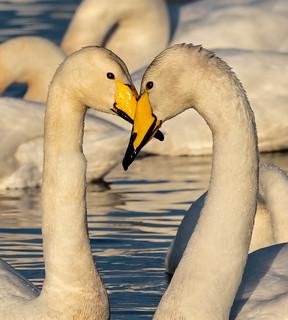 Whooper Swans at sunset, Lake Myvatn, Iceland