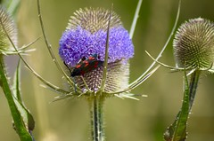 Burnet Moth (AdeleZag) Tags: butterfly gedling macro moth plant park