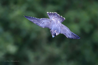 Young Peregrine jet fighter flight pose