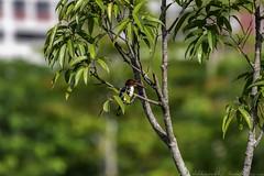 20180708-0I7A8779 (siddharthx) Tags: 7dmkii bird birdwatching birding birdsinthewild bishanangmokiopark canon canon7dmkii ef100400f4556isii ef100400mmf4556lisiiusm nature singapore singaporeparks trek urbanbirds urbangreens sg whitethroatedkingfisher whitebreastedkingfisher kingfisher