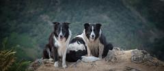 Taking the Hump (JJFET) Tags: border collie dog dogs sheepdog herding