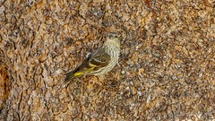 Pine Siskin (Bob Gunderson) Tags: birds california finchesgrosbeaks monocounty northerncalifornia pinesiskin sierras spinuspinus virginialakesresort