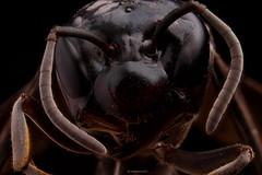 Avispa (jbanistaok50) Tags: inexplore explore flickr flickrblog flickrheroe animal insect awesome sonyalpha bug camera new naturaleza wild contrast macromondays pentax colours naturephotography