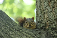 36/365/3688 (July 17, 2018) - Squirrels in Ann Arbor at the University of Michigan (July 17th, 2018) (cseeman) Tags: gobluesquirrels squirrels annarbor michigan animal campus universityofmichigan umsquirrels07172018 summer eating peanut julyumsquirrel 2018project365coreys yearelevenproject365coreys project365 p365cs072018 356project2018
