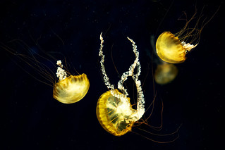 Pacific Sea Nettle (Chrysaora fuscescens) of Enoshima Aquarium, Fujisawa : パシフィックシーネットル(藤沢市・新江ノ島水族館)