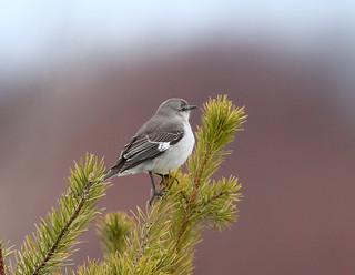 Moqueur polyglotte - Northern Mockingbird
