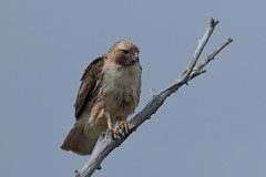 Red-tailed Hawk (Hammerchewer) Tags: redtailedhawk bird raptor wildlife outdoor montana