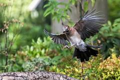 Final Approach (Knutsfordian) Tags: jay garrulusglandarius bird corvid outdoor garden
