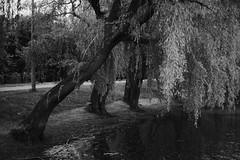 Ивы у воды / Willows near water (spoilt.exile) Tags: украина краматорск парк деревья ивы ветви дорога вода берег чб чернобелое природа ukraine kramatorsk park trees willows branches road coast bw blackandwhite nature