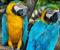 Beautiful parrots (Steve4343) Tags: steve4343 nikon d70 bangkok thailand animal park colors parrot parrots yellow black white blue aqua green bird birds exotic beautiful