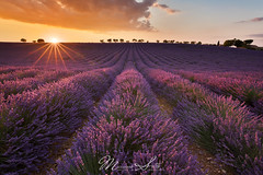 Valensole lavender fields sunset (Massimo Sotto) Tags: agriculture alpesdehauteprovence bloom blooming field flower france landscape lavande lavender lines nature noperson outdoors plateau provence purple sky sunset travel trees valensole 250