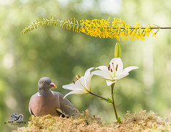 wood Pigeon looks at a white lily (Geert Weggen) Tags: beauty blossom blue closeup colorimage delphinium extremecloseup field flower flowerhead flowerbed fragility greencolor growth herb leaf multicolored nature nopeople outdoors perennial petal photography plant publicpark scenicsnature season spice springtime summer vertical vibrantcolor autumn animalwildlife animalsinthewild winter woodland mammal garden split spread yoga reaching pigeon dove bird lily bispgården jämtland sweden geert weggen ragunda hardeko