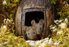 two mice at log pile door (1) (Simon Dell Photography) Tags: house mouse log pile door coconut mossy moss logs wood stack garden wild wildlife cute funny detail close up awesome viral ears eyes george mini mildred sheffield s12 hackenthorpe decorated summer images mice two mouses animals rodents