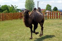 26.7.18 Chynov and camels 21 (donald judge) Tags: czechia south bohemia toulava chynov zahostice camels
