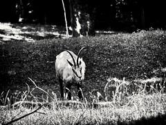 Gamserl (Helmut Reichelt) Tags: bw sw gamserl gemse juli sommer münchen zoo tierpark hellabrunn oberbayern bavaria deutschland germany panasonic lumix fz200 captureone11 silverefexpro2
