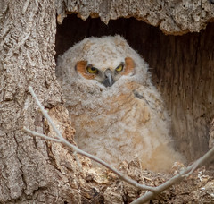 Growing up very fast (tresed47) Tags: 2018 201804apr 20180417lancastercountybirds april birds canon7d content ephrata folder greathornedowl lancastercounty owl pennsylvania peterscamera petersphotos places season spring takenby us ngc npc