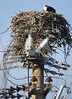 Osprey nesting (diffuse) Tags: bird osprey shelley nest nesting powerpole odc top insulators msh0418 msh04188 118 dwelling home