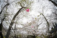 Sakura-FISHEYE (kaz_Pinguist) Tags: fukushima pentax k1 20180414 sakura sigma fisheye 15mmf28