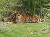 Sumatratiger (Chriest) Tags: burgerszoo sumatratiger pantheratigrissumatrae