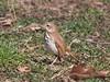Hermit thrush (Goggla) Tags: hermit thrush nyc new york east village urban wildlife bird tompkins square park flicker