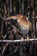 Least Bittern April18-6392 (justl.karen) Tags: bird birds texas least bittern leastbittern anahuacwildliferefuge