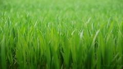 this is green (Veitinger) Tags: green grün pfalnzen plants natur nature feld field frühling spring springtime 169 sony tamron tamron16300