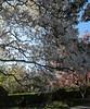 "IMG_0145e (tombarat) Tags: centralpark nyc usa conservatory""tulip""garden springtime"