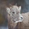 Rocky Mountain Bighorn Sheep - Lamb (Turk Images) Tags: jaspernationalpark oviscanadensis rockymountainsheep alberta bovidae lamb mammals