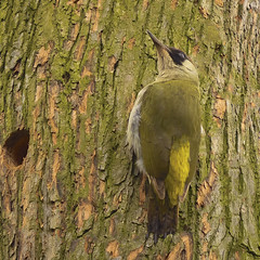 Camouflaged...... (klythawk) Tags: greenwoodpecker picusviridis wildlife nature trunk bark overcast green brown yellow red grey black white olympus omd em1mkll 100400mm panasonic wollatonpark nottingham klythawk