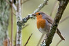 D50_8573.jpg (ManuelSilveira) Tags: piscopeitoruivo aves fauna