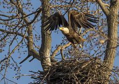"Worth the effort..... (Kevin Povenz Thanks for all the views and comments) Tags: 2018 april kevinpovenz westmichigan michigan ottawa ottawacounty ottawacountyparks ""grand ravines north"" nature wildlife baldeagle eagle outside outdoors canon7dmarkii bird birdsofprey nest fly flight tree morning sigma150500 bluesky sunlit"